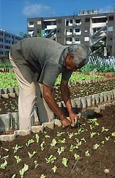 Man planting lettuces in the Rotonda de Cojimar allotment garden or Organoponico in Havana; Cuba,