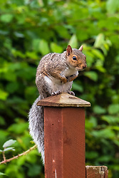 A Grey Squirrel (Scientific name Sciurus Carolinensison) perches tentatively on a fencepost during a brief visit to a small Sheffield suburban garden.<br /> <br /> 20 August 2021<br /> <br /> www.pauldaviddrabble.co.uk<br /> All Images Copyright Paul David Drabble - <br /> All rights Reserved - <br /> Moral Rights Asserted -