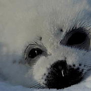 Harp Seal, (Pagophilus groenlandicus) Portrait of pup often called a white coat. Spring. Nova Scotia. Canada.