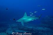 sandbar shark, Carcharhinus plumbeus, followed by opelu, or mackerel scad, Decapterus macarellus, at Vertical Awareness dive site, Lehua Rock, near Niihau Island, off Kauai, Hawaii, USA ( Central Pacific Ocean )