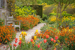 Seat surrounded by wallflowers - Erysimum 'Fire King' -  in the Cottage Garden at Sissinghurst Castle in spring