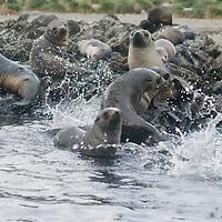 Southern Fur Seals frolic onto rocks by Ocean Harbor, South Georgia, Antarctica.