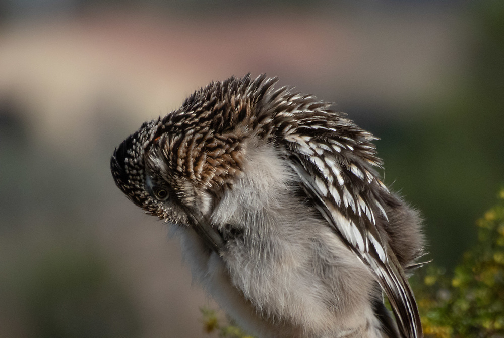 Roadrunners like to preen before they start off their day. You can often see them in the morning perched in the sun getting fluffed up.