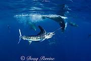 striped marlin, Kajikia audax (formerly Tetrapturus audax ), and California sea lions, Zalophus californianus, feeding on sardines, or pilchards, Sardinops sagax, off Baja California, Mexico ( Eastern Pacific Ocean )