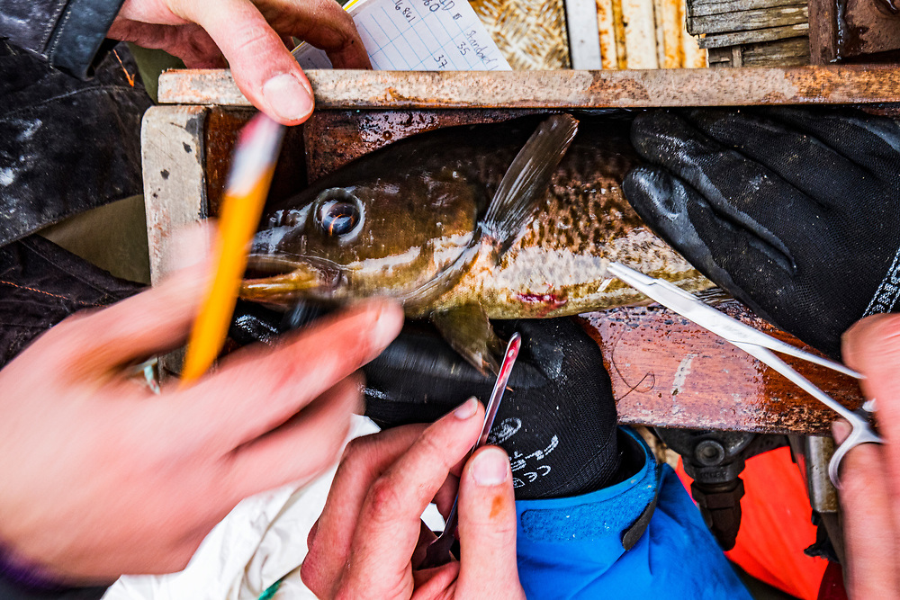Researchers stitch up a juvenile Atlantic cod (Gadus morhua) after implanting a tag the fish off Newfoundland, Canada.