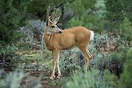 Young mule deer buck with antlers in velvet, pinon juniper habitat, Grand Canyon National Park, Arizona, © David A. Ponton