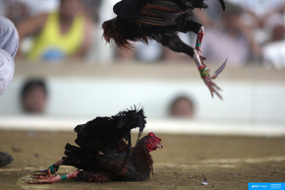 THE PHILIPPINES (Manila). 2009. Two game cocks, each with three inch razor sharp blades fastened to their left ankles fight to the death at the Boracay Cockpit, Boracay Island. Photo Tim Clayton <br /> <br /> Cockfighting, or Sabong as it is know in the Philippines is big business, a multi billion dollar industry, overshadowing Basketball as the number one sport in the country. It is estimated over 5 million Roosters will fight in the smalltime pits and full-blown arenas in a calendar year. TV stations are devoted to the sport where fights can be seen every night of the week while The Philippine economy benefits by more than $1 billion a year from breeding farms employment, selling feed and drugs and of course betting on the fights...As one of the worlds oldest spectator sports dating back 6000 years in Persia (now Iran) and first mentioned in fourth century Greek Texts. It is still practiced in many countries today, particularly in south and Central America and parts of Asia. Cockfighting is now illegal in the USA after Louisiana becoming the final state to outlaw cockfighting in August this year. This has led to an influx of American breeders into the Philippines with these breeders supplying most of the best fighting cocks, with prices for quality blood lines selling from PHP 8000 pesos (US $160) to as high as PHP 120,000 Pesos (US $2400)..