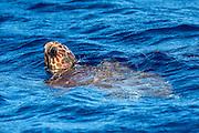 A sub-adult Loggerhead Sea Turtle, Caretta caretta, comes up for air offshore Pico Island, Azores, Portugal, North Atlantic Ocean.