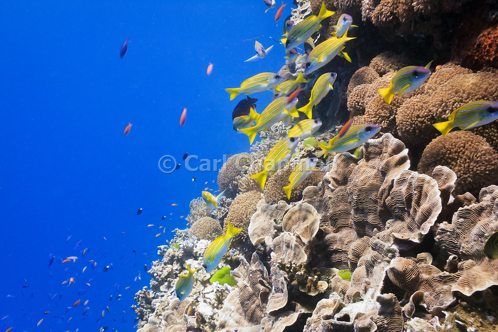 bluestripe snapper (lutjanus kasmira) over pachyseris foliosa coral on tropical coral reef - Agincourt reef, Great Barrier Reef, Queensland, Australia <br /> <br /> Editions:- Open Edition Print / Stock Image