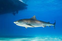 Tiger Shark, Galeocerdo cuvier, swimming under boat, West End, Grand Bahama, Bahamas, Caribbean, Atlantic Ocean