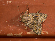 Small Ranunculus Moth, Hecatera dysodea, in garden, Kent UK, Was extinct however, it became re-established in a small area of Kent and Essex, around the Thames and is now expanding quite rapidly north and westwards. Associated with allotments, larvae feed