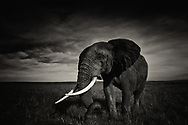 Bull elephant's ivory tusks illuminate his magnificence and beauty. Ironically, they also make him a prime candidate for poaching, aka murder, to satisfy the unquenchable desire by humans for status, ego, power, control, possession, wealth and pseudo beliefs of medicinal cures.