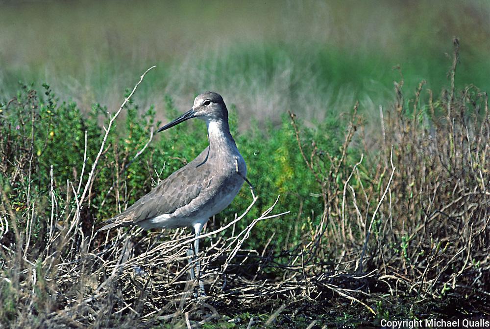 A Dunlin in winter plumage taken in the Los Penasquitos Marsh.