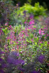 Salvia curviflora (Pink Tehuacan Sage)