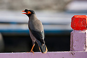 Indian Myna bird, Acridotheres tristis, twittering from perch on tourist boat in River Ganges by the Ghats in city of Varanasi, India