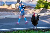 Rosters look for food as runners run through Fair Oaks Village in the California International Marathon (CIM), Sunday Dec 3, 2017.<br /> photo by Brian Baer