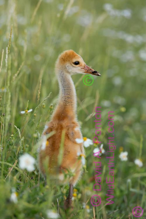 Sandhill crane colt (chick) in meadow, © David A. Ponton