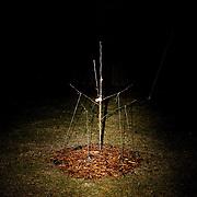 Pihan uusi omenapuu. Narut estävät oksia kasvamasta ylöspäin.