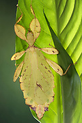 Gray's Leaf Insect, Phyllium philippinicum, native to west Malaysia, called leaf insects because their large, leathery forewings have veins that look similar to the veins on the particular type of leaves they inhabit