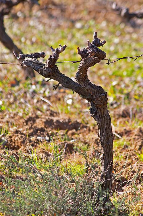 Domaine Fontedicto, Caux. Pezenas region. Languedoc. Vines trained in Gobelet pruning. 30 year old Syrah grape vine variety. France. Europe. Vineyard.