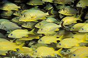 bluestripe grunts, Haemulon sciurus, and French grunts, Haemulon flavolineatum, Davis Reef, Islamorada, Florida Keys ( Western Atlantic Ocean ) Florida Keys National Marine Sanctuary