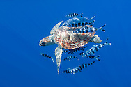 Loggerhead turtle, Caretta caretta, with a school of pilot fishes, Naucrates ductor, Pico, Azores, Portugal