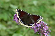 Camberwell Beauty - Nymphalis antiopa