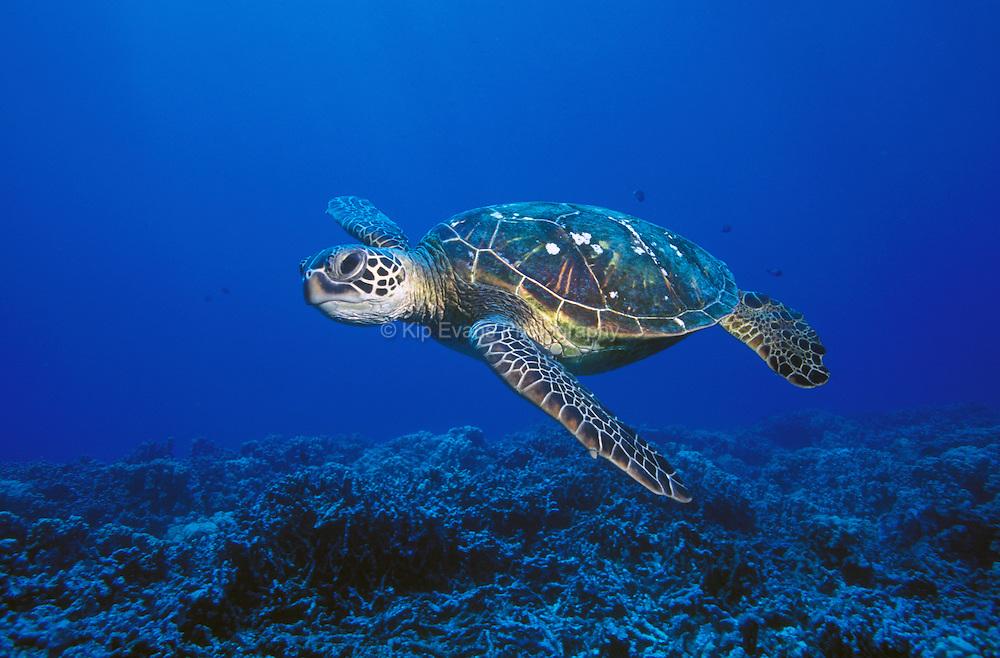 Green Sea Turtle (Chelonia mydas), Ohau Hawaii
