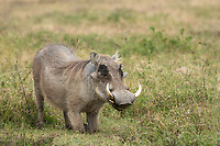 Central African Warthog, Phacochoerus africanus massaicus, kneels on its front legs to feed on grasses in Ngorongoro Crater, Ngorongoro Conservation Area, Tanzania