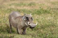 Central African Warthog, Phacochoerus africanus massaicus