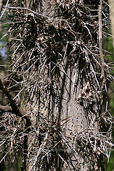 honey locust tree with thorns