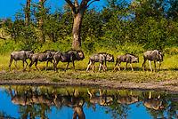 Blue wildebeest (gnu), Kwando Concession, Linyanti Marshes, Botswana.