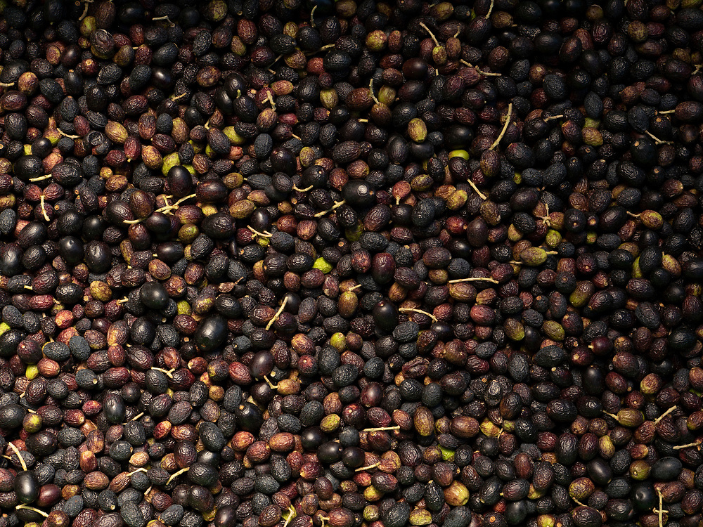 harvested olives ready for pressing
