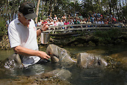 Animal handler feeds Florida manatees in front of spectators in Homossassa Springs State Park, Citrus County, Florida