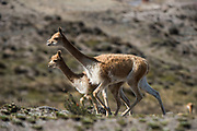 Vicuña (Vicugna vicugna)<br /> wild South American camelid<br /> Chimborazo Forest Reserve<br /> Andes<br /> ECUADOR, South America<br /> Habitat & range: High alpine areas of Andes, Argentina, Peru, Argentina, Bolivia, Chile & Ecuador