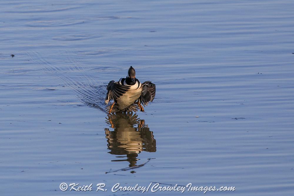 Hooded Merganser Drake in Flight in Breeding Plumage