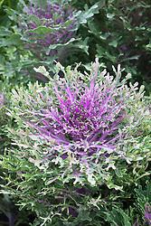 Ornamental Cabbage Murakami. Flowering Kale