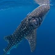 Whale shark (Rhincodon typus), with injury possibly from a boat's propellor, Honda Bay, Palawan, the Philippines, Sulu Sea