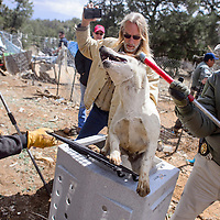042415       Cable Hoover<br /> <br /> Leyton Cougar, center, of the Wild Spirit Wolf Sanctuary videos the action as Cibola County undersheriff Mike Munk, right Pete Lucero crate a dog during an inter-agency roundup of dogs at a private residence in Candy Kitchen Friday.