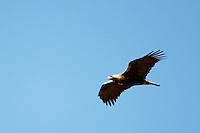 Spanish Imperia Eagle (Aquila adalberti) Extremadura, Spain. April 2009