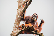 An orangutan female (Pongo pymaeus) sitting in a tree with her young, Tanjung Puting National Park, Central Kalimantan, Borneo, Indonesia