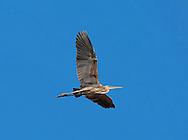 Purple Heron - Ardea purpurea - Adult in flight