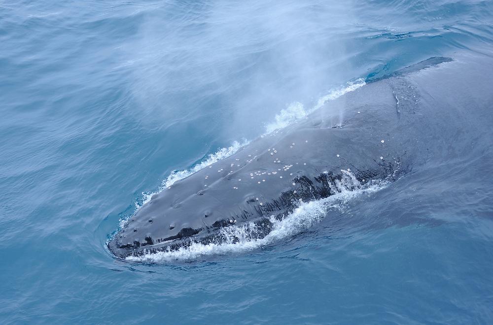 A Humpback whale blows as it surfaces (Megaptera novaeangliae) South Sandwich Islands, Southern Ocean. 26Feb16