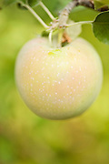 An organic apple growing on a tree in Utah.
