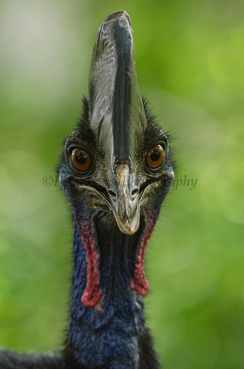 Southern cassowary or double-wattled cassowary (Casuarius casuarius)<br /> Biak Island<br /> West Papua<br /> Indonesia<br /> CAPTIVE<br /> Native to New Guinea