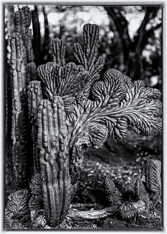 Crested San Pedro Cactus, a native of Mexico.  Echinopsis pachanoi f. Cristata.  Huntington Gardens, San Marino, CA
