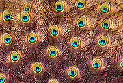 Feathers of a peacock tail