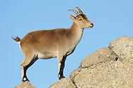 Iberian ibex (Capra pyrenaica), Gredos mountains, Spain