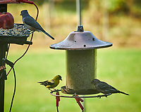 Tufted Titmouse, American Goldfinch, House Finch. Image taken with a Nikon D850 camera and 200 mm f/2 VR lens
