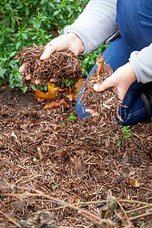 Mulching dahlias with strulch after cutting back frosted and blackened foliage when leaving them in the ground over winter